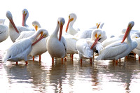 2016-01-11 American White Pelicans at Ding Darling Nat'l Wildlife Refuge, Florida