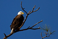 2016-02-02 Bald Eagle in Lakewood Ranch, Florida