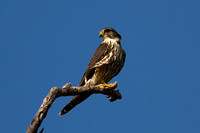 2016-01-06 Merlin at Lovers Key State Park, Florida