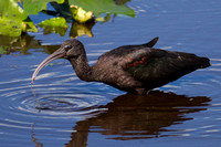 2016-01-20 Glossy Ibis at Peaceful Waters Sanctury, Florida