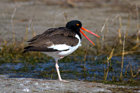 2016-01-06 American Oystercatcher at Fort Myers Beach, Florida