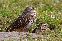 2016-01-05 Burrowing Owls at Cape Coral, Florida