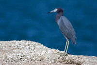 2016-01-24 Little Blue Heron at Jetty Park, Cape Canaveral, Florida