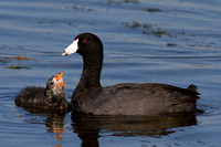 American Coot Families