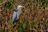 2016-01-30 Great Blue Heron at Lake Hollingsworth, Florida