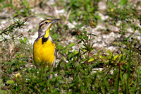 2016-01-16 Eastern Meadowlark at Hendry County, Florida