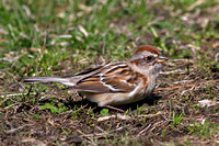 2016-03-16 American Tree Sparrow by North Pond, Chicago