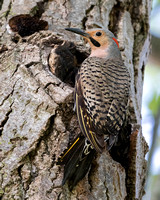 2016-06-08 Northern Flickers at Montrose, Chicago