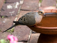 2016-06-30 Mourning Dove in Backyard