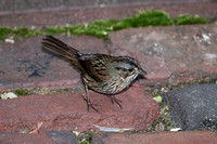 2016-09-25 Lincoln's Sparrow in Backyard