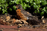 2016-08-07 American Robin in Backyard