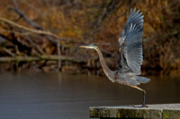 2017-11-13 Great Blue Heron at North Pond, Chicago