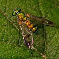 Green and orange fly