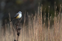 2017-10-31 Scissor-tailed Flycatcher at Montrose, Chicago