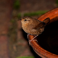 2016-09-24 Winter Wren in Backyard