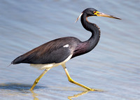 2016-02-11 Tricolored Heron at Fort de Soto Park, St Petersburg, Florida