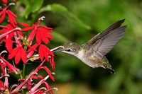 2017-09-09 Ruby-throated Hummingbird -- Pollination