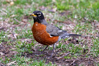 2016-03-17 American Robin in Lincoln Park