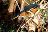 2016-01-18 Least Bittern at Wakodahatchee Wetlands, Florida
