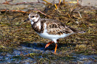 2016-01-06 Ruddy Turnstone at Fort Meyers Beach, Florida