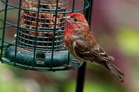 2017-06-30 Male House Finch