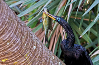 2017-02-01 Anhinga with fish at Green Cay, Florida