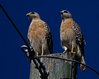 2016-01-20 Red-shouldered Hawks in Hendry County, Florida