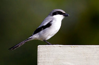 2016-01-05 Loggerhead Shrike in Cape Coral, Florida