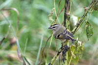2017-11-03 Golden-crowned Kinglet at Montrose, Chicago
