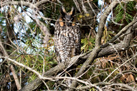 2017-11-03 Long-eared Owl at Montrose, Chicago