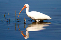 2016-02-11 White Ibis at Fort de Soto Park, St Petersburg, Florida