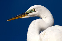2016-02-08 Great Egret in Treasure Island, Florida