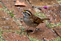 2016-09-29 White-throated Sparrow in Backyard