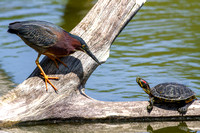 Green Heron & Turtle Interaction
