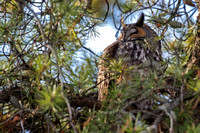 2016-12-31 Long-eared Owl at Jarvis Bird Sanctuary, Chicago