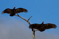2016-01-07 Turkey Vultures at Harns Marsh, Florida